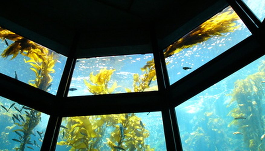 Large giant kelp are multicellular algae that are capable of photosynthesis.