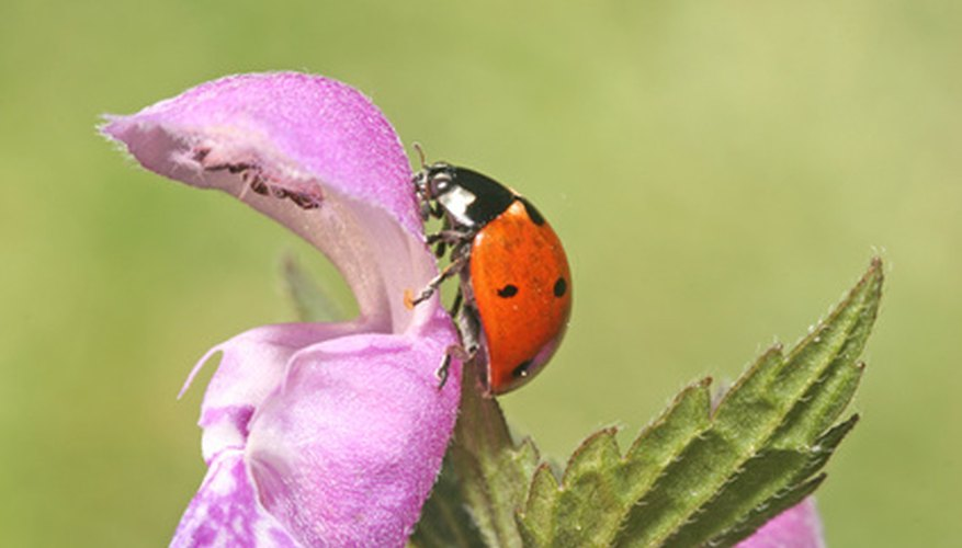Some people think ladybugs are a symbol of good luck.