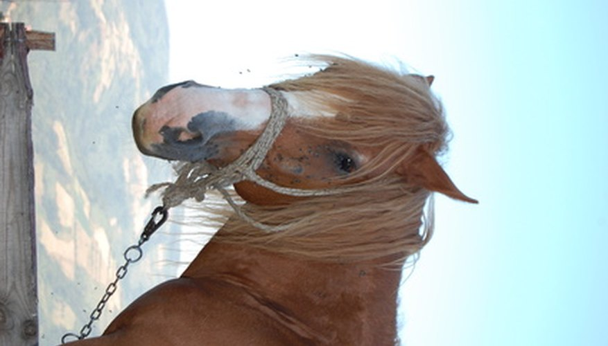 Male horses need to have their sheaths cleaned periodically to avoid infection.