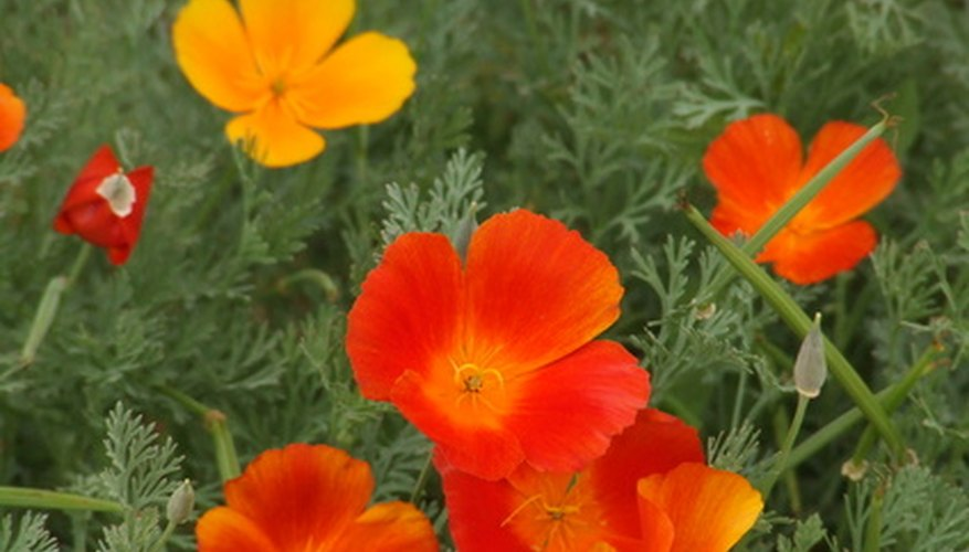 Califormia poppies grow very well in their zone 10 environment.