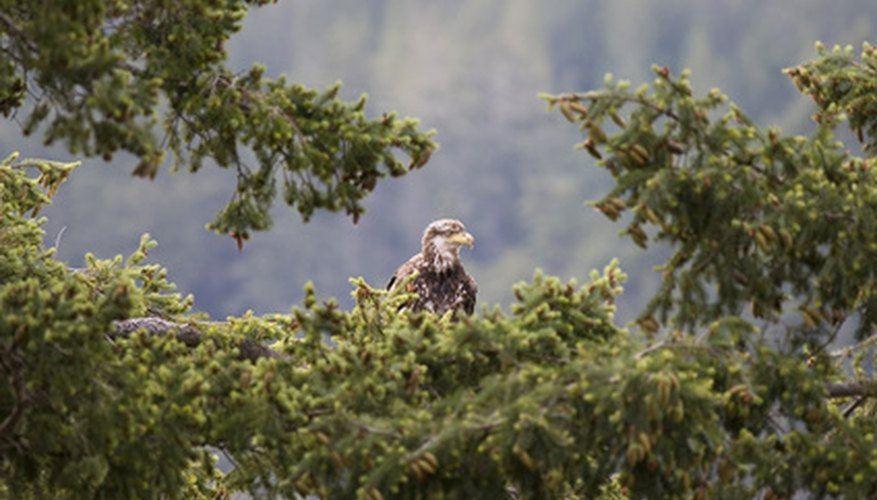 The young eagle may remain close to the nest for several months after learning to fly.