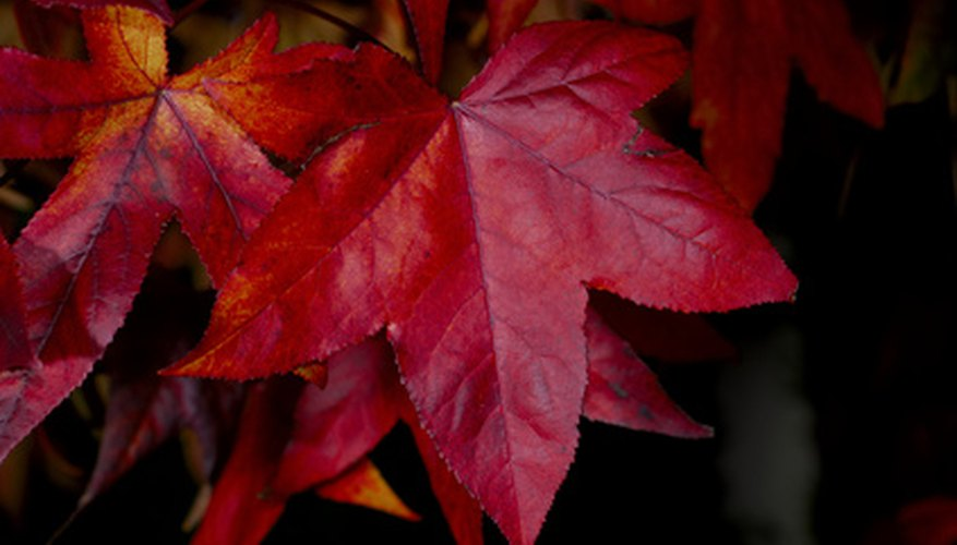 Maples leaves offer an example of a palmate vein pattern.