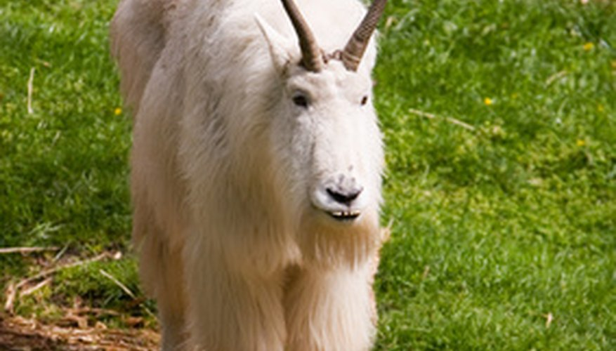 The Long Haired Mountain Goat is thriving in Spain.