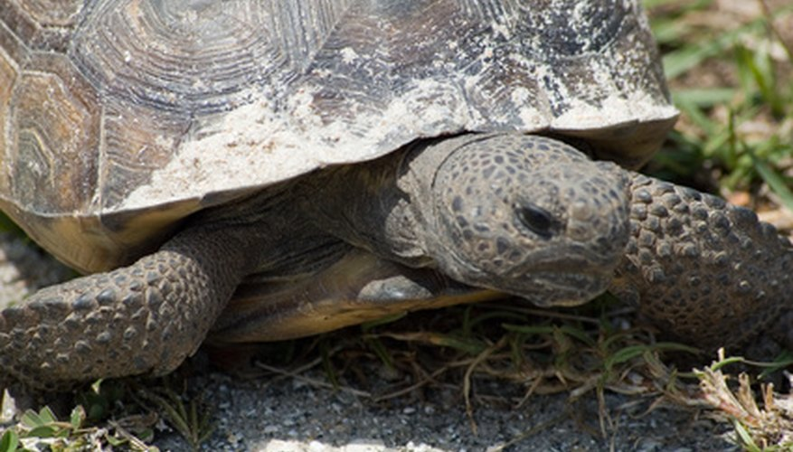 A permit is required before developing on or clearing land where there are gopher tortoises.