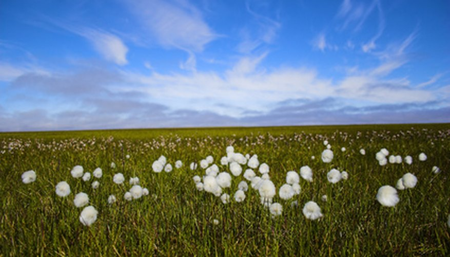 The arctic tundra has a short and energetic growing season.