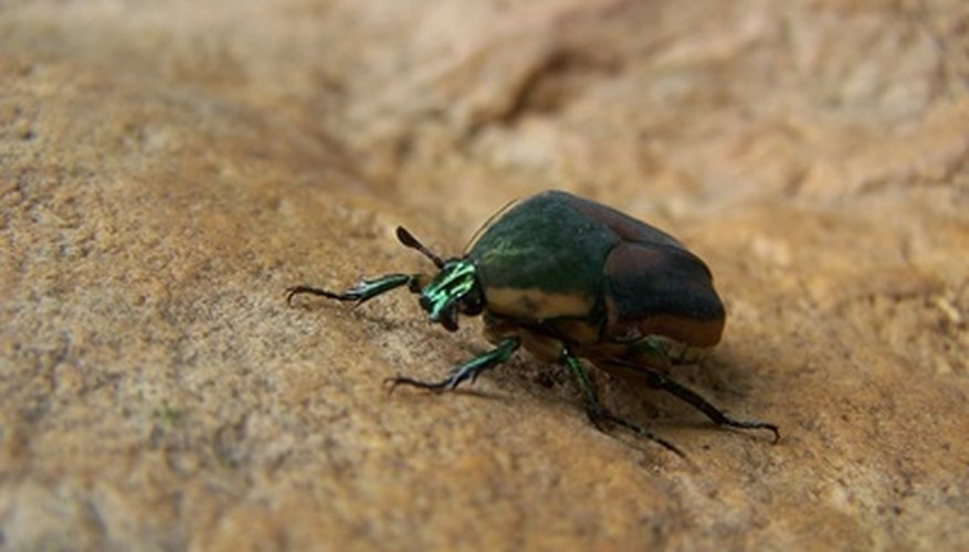 A variety of beetles, both harmful and helpful, make their homes in South Carolina.