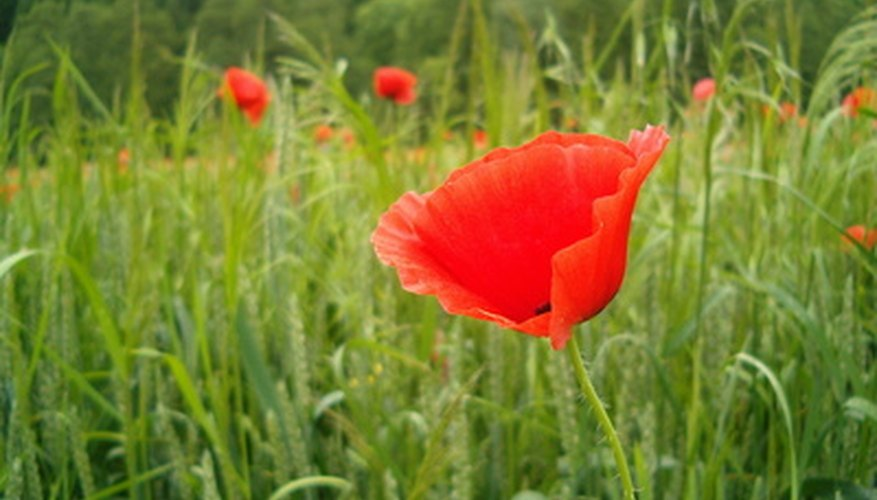 Create a poppy as beautiful as the real thing.