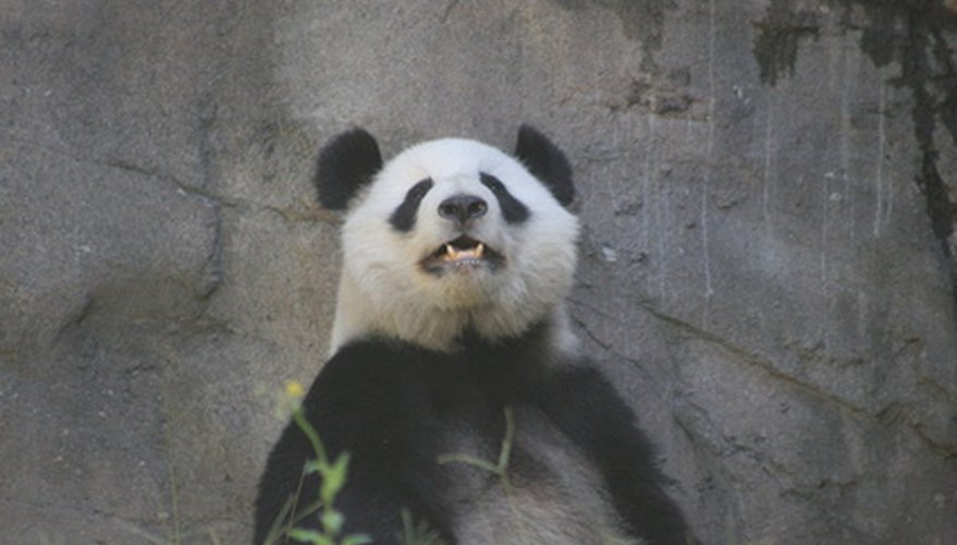 Giant pandas need help to survive.