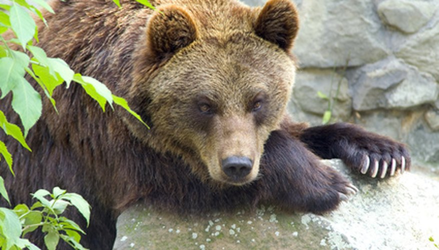 Spain's brown bears can still be seen in Spain, although their numbers have dwindled.