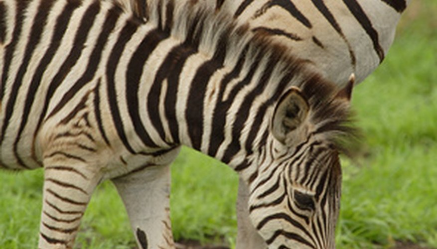 A young zebra is called a foal.
