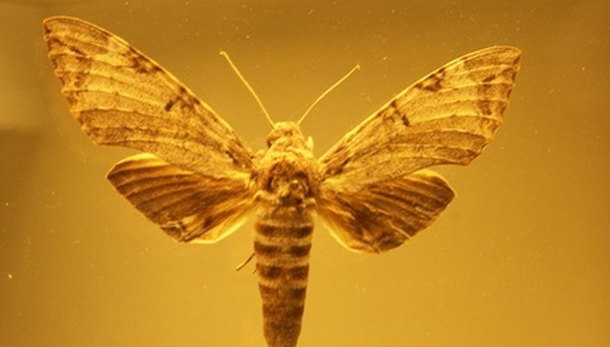 Prehistoric insects get trapped in tree sap and become entombed in amber.