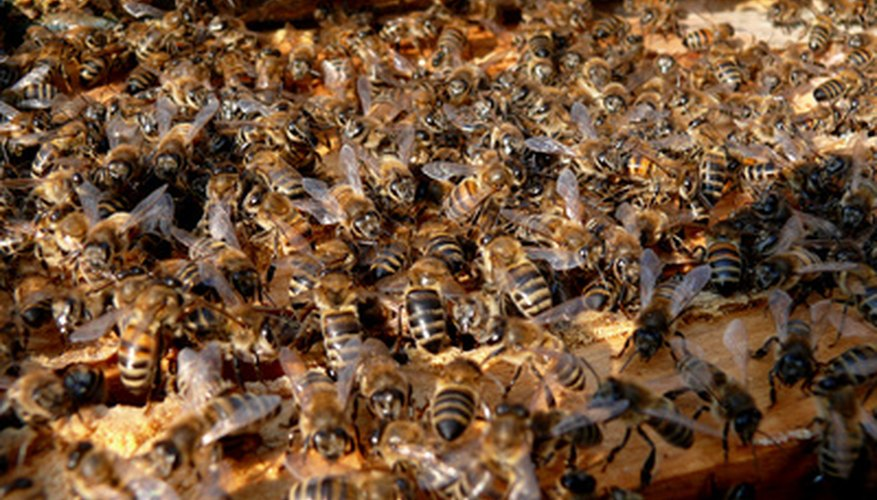 A wild beehive houses thousands of honeybees.