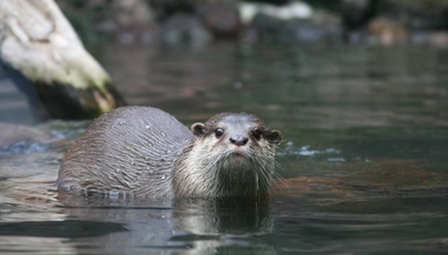 River otters have five toes and webbed feet.