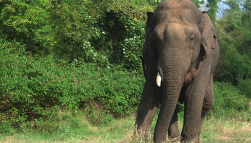 The habitats of elephants vary according to species and resource availability.