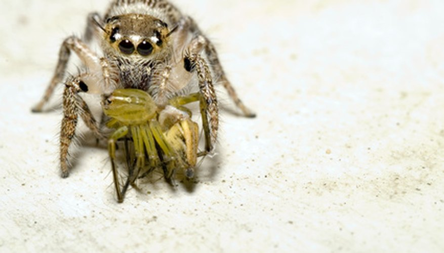 Jumping spiders, often encountered on the outside walls of homes and other structures, will prey on other spiders.