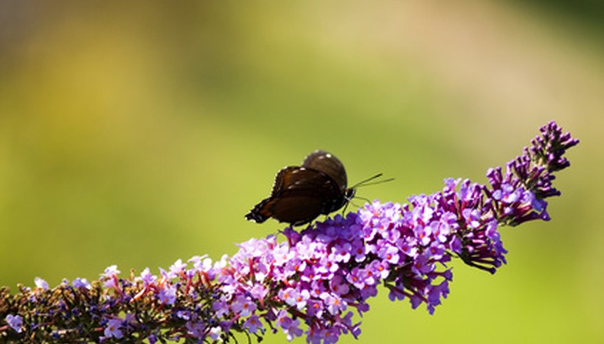 Butterfly bushes excel at attracting beneficial insects.