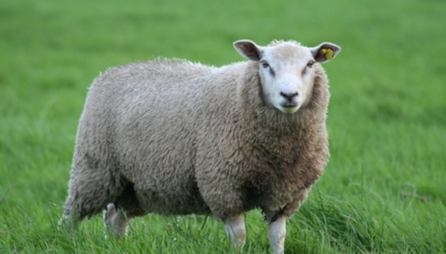 Sheep can be separated from deer and cows by the characteristic of wool.