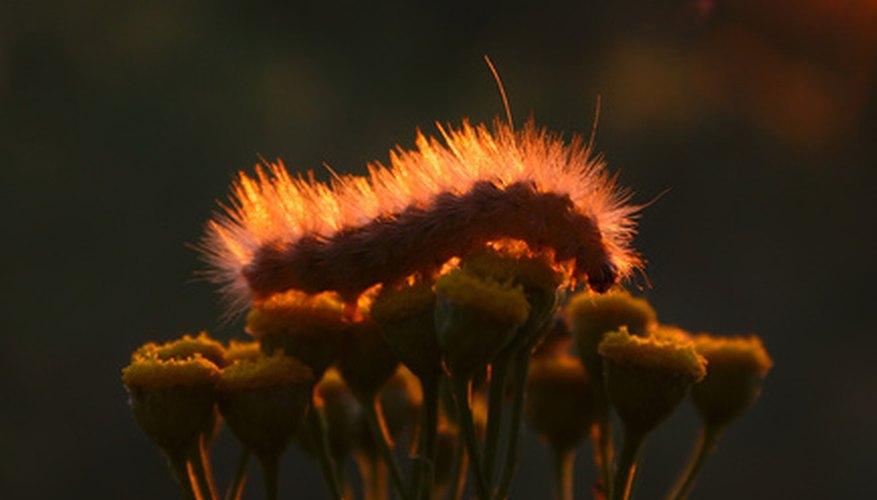 Caterpillars Have Venom in Those Tiny Hairs!