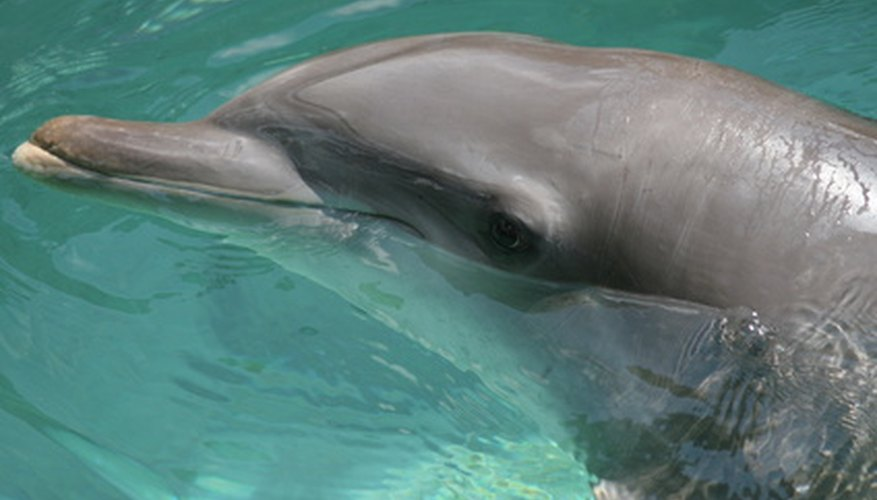A dolphin is a mammal born with a mustache of hair.