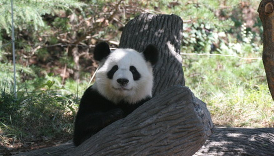 Pandas only live in a few mountain ranges in China..