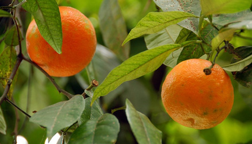 These navel oranges have made it to the ripe stage.