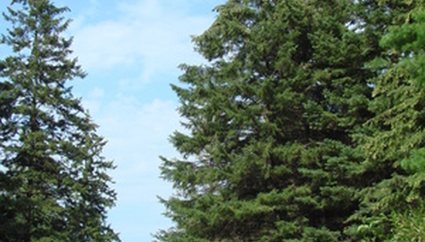 Pine trees are vulnerable to a variety of diseases and insect pests.