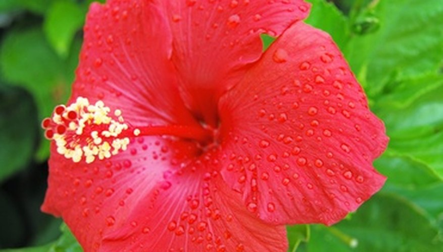 Hibiscus flowers are popular with humans and animals.