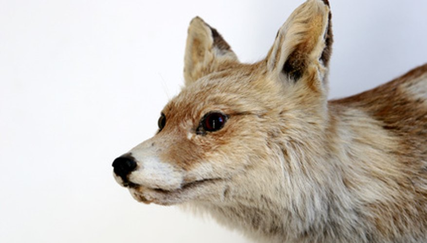 The gray fox is often seen in Tennessee's high elevation ecosystems.