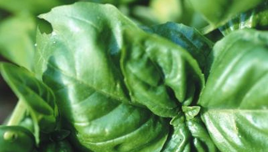 Basil, an annual herb, requires full sun and high temperatures to mature.