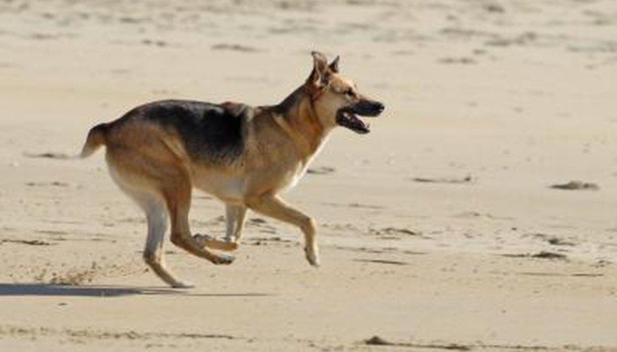 A German Shepherd Dog.