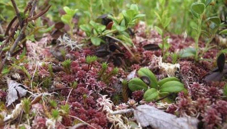 Sphagnum mosses in Sweden