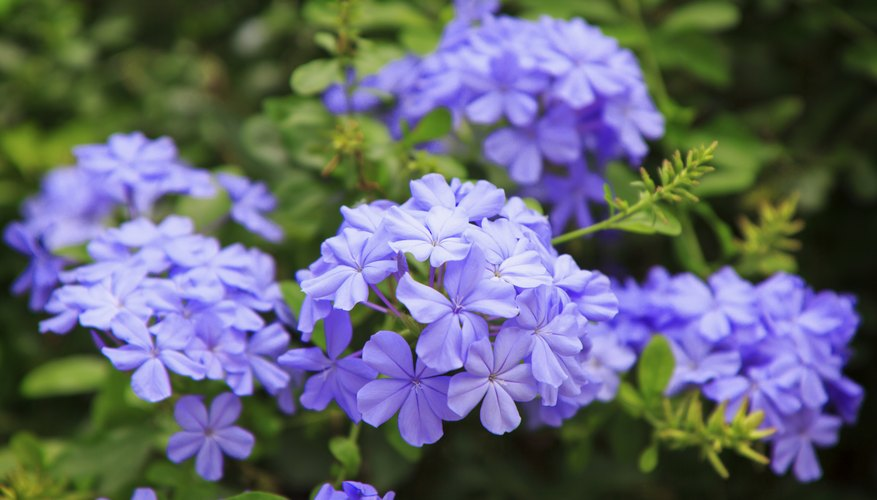The small flowers of plumbago resemble phlox.