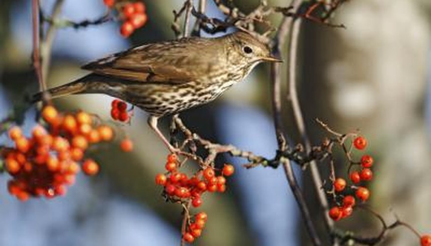 A bird perches on a branch bearing orange berries.