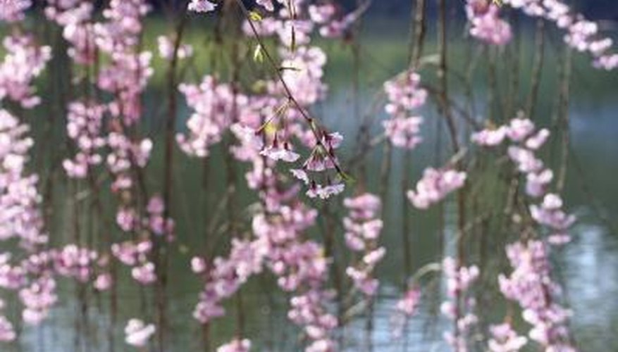 The true dwarf weeping cherry can be 15 feet tall and live up to 70 years.