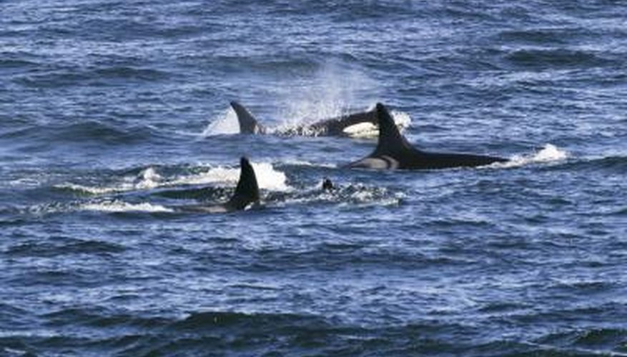 Whales inhale oxygen which is carried through their bodies by the circulatory system.