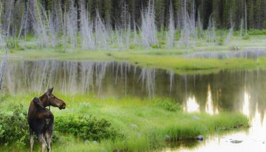 A wild moose in the wetlands.