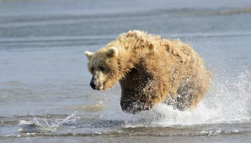 A grizzly bear chases a fish in the water.