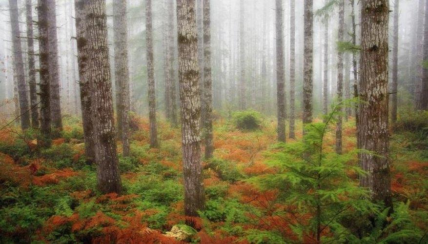 Douglas fir trees in the fog.