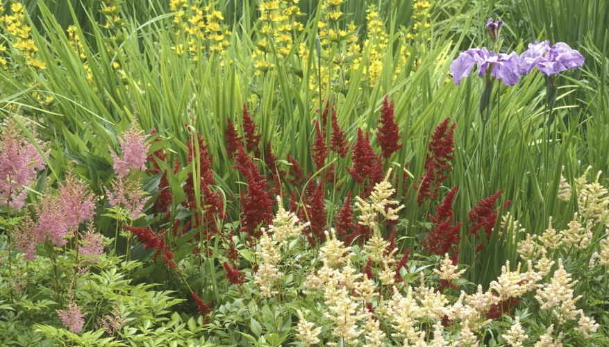 Herbaceous perennials are the backbones of countless formal gardens.