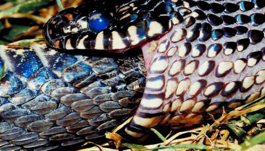 The glossy black eastern kingsnake is among the most striking of Central Tennessee reptiles.