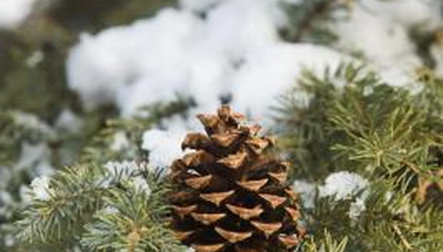 Pine trees have male and female cones.