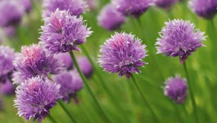 Chive flowers