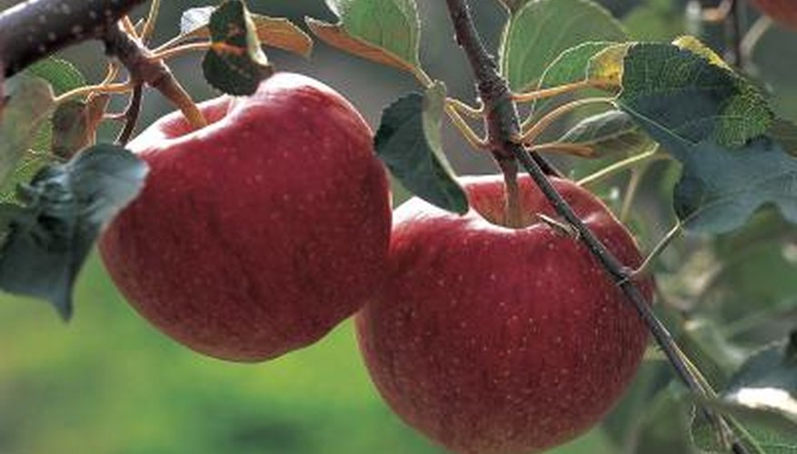 Apples trigger the digestive system to stop producing stomach acid.