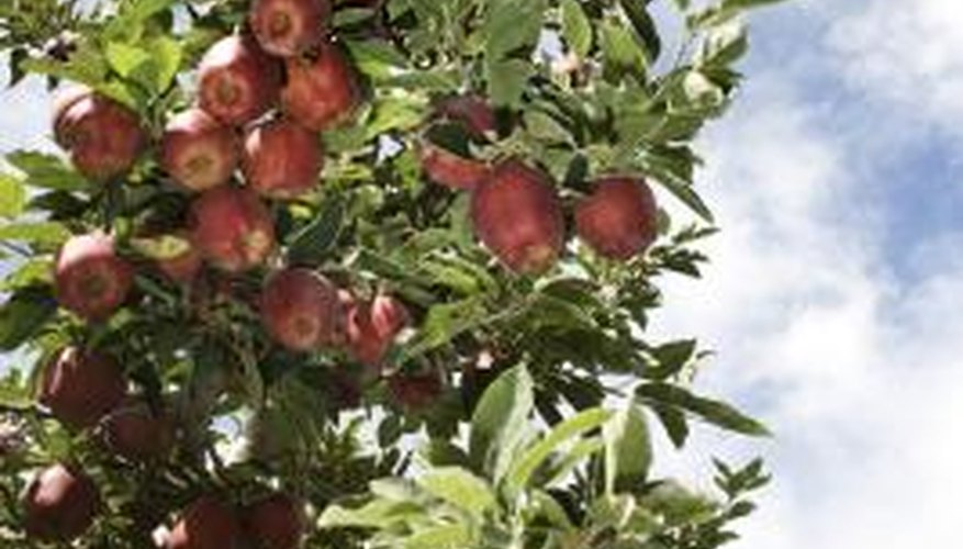 Apples are one of the most popular fruit trees grown in Oregon.