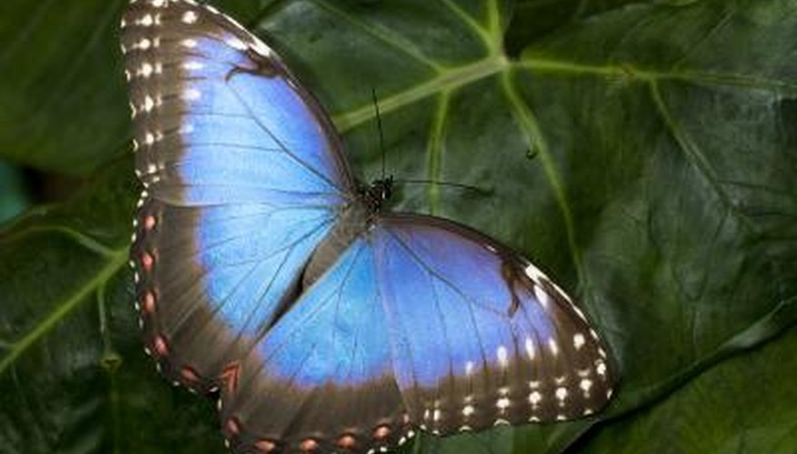 Microscopic scales make the Morpho's wings look metallic and blue.