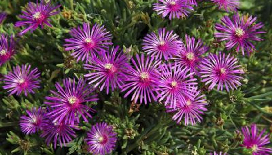 Purple delosperma flowers.