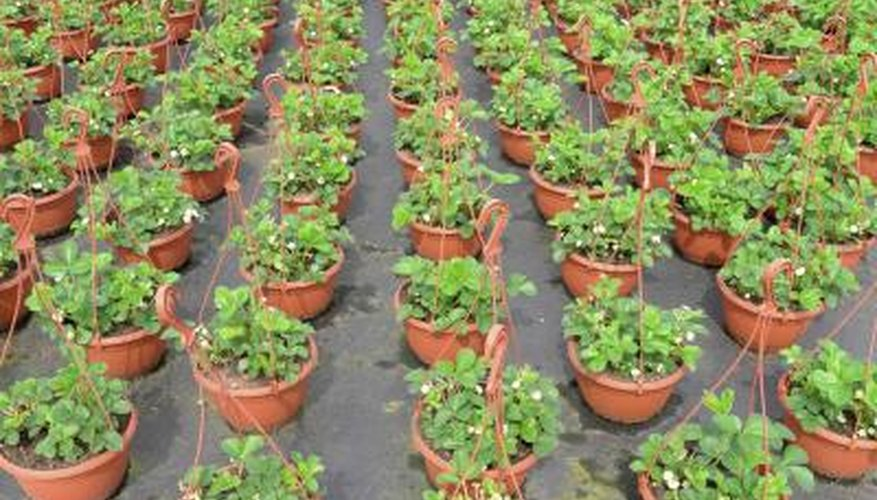 Strawberry plants in hanging baskets for wholesale.