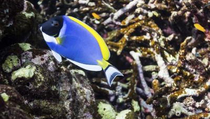A plant eating powder blue tang.