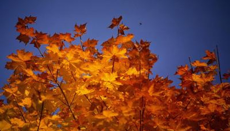Many maples have orange fall color.