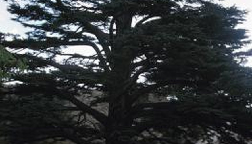 True cedars can be quite impressive in diameter.